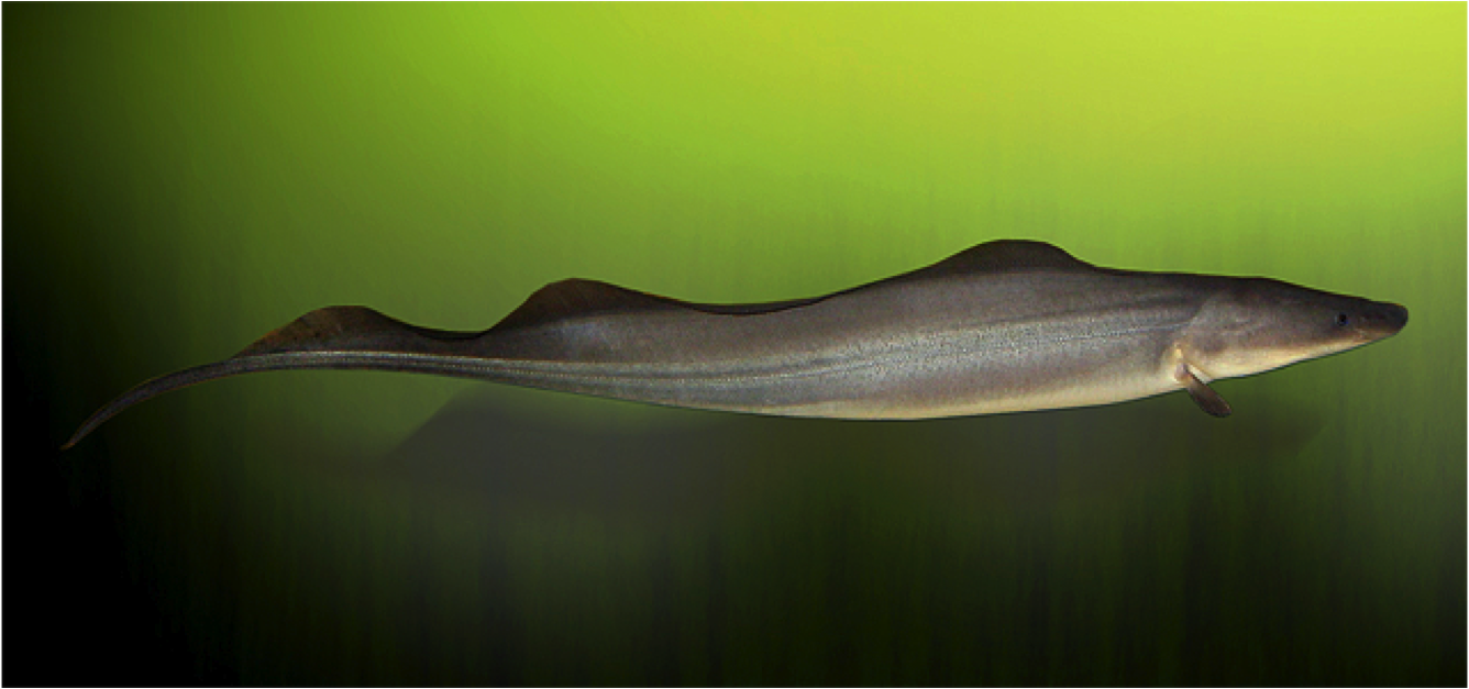 African Brown Knife Fish Knifefish